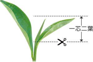 スペシャルTでは「一芯二葉(いっしんによう)」と呼ばれる新芽の先端から、二枚の葉のついた部分のみを使用